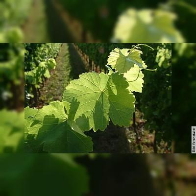 Weinbergwanderung mit Weinprobe